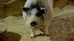 Funny vietnamese pig at farm close up. Close up huge decorative pig at farm. Domestic pigs farming stock images