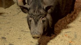 Funny Vietnamese pig on farm close up. Curious black Vietnamese pig looking at camera while standing on sand in barn royalty free stock photos