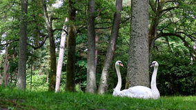 Funny view of swan  couple Stock Image