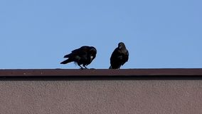Two crows sit on a roof and clean their beaks on a sunny day in slo-mo stock video footage