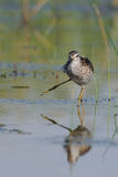 Funny walk of Wood Sandpiper at the shallow water Stock Images