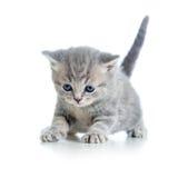 Funny walking cat kitten Stock Images