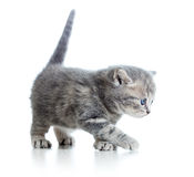Funny walking cat kitten Stock Photos