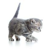 Funny walking cat kitten Stock Photos