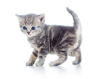 Funny walking kitten Stock Photo