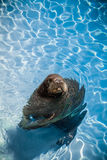 Funny Walrus in a pool looking at the camera Royalty Free Stock Photos