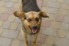 Funny wandering dog Stock Image