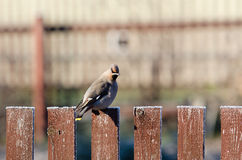 Funny waxwing sits on a fence Stock Photo