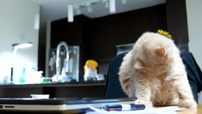 Funny way of persian cat cleaning her body. On table stock video