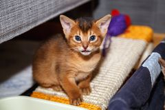 Abyssinian kitten sitting on the scratching post. Funny 3 weeks old Abyssinian kitten sitting on the scratching post and looking in the camera Royalty Free Stock Images