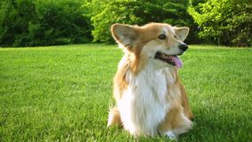 Funny welsh corgi fluffy dog stock video footage