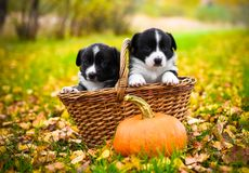 Puppies dogs posing in the basket with pumpkins Royalty Free Stock Photo