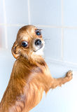 Funny wet chihuahua dog in bath Stock Photo