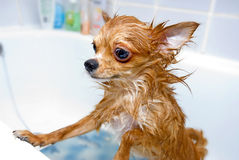 Funny wet chihuahua dog Royalty Free Stock Photography