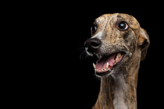 Funny Whippet Dog on Black Background. Funny Portrait of Whippet Dog on Isolated Black Background stock image