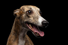 Funny Whippet Dog on Black Background Stock Image