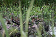 Funny Whistling Ducks at Ocala, Florida Royalty Free Stock Photography