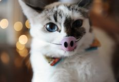 Funny white blue-eyed fluffy cat with masquerade piglet on an elastic band on the nose. Background of blurred lights royalty free stock photography