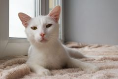 Funny white cat with green eyes is lying on a pink blanket near to the window. Funny white cat with green eyes is lying on a pink blanket near to the window royalty free stock image