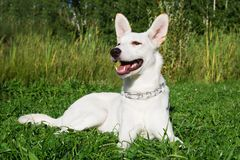 Funny white dog on a grass in a park. Funny smiling white dog on a grass in a park stock images