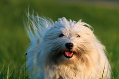 Funny White Dog Stock Photo