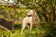 Funny White Dog Turned Back Outdoor Stock Photography