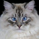 Funny white fluffy blue-eyed cat isolated on black Royalty Free Stock Image