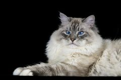 Funny white fluffy blue-eyed cat isolated on black. Funny white fluffy blue-eyed siberian cat isolated on black Royalty Free Stock Photography