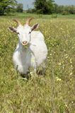 Funny white goat grazing on the meadow Royalty Free Stock Image