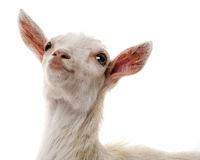 Funny white goat stock photos