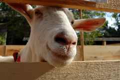 Funny white goat portrait Royalty Free Stock Image