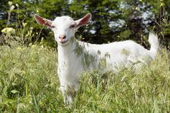 Funny white goat smiling on the meadow Stock Photography
