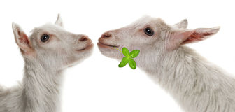 Funny white goats kissing Royalty Free Stock Images
