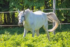 The funny white Hanoverian horse waving his tail in the bridle or snaffle on the pasture or grassland with the green background of stock images