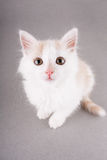 Funny white kitten Stock Images