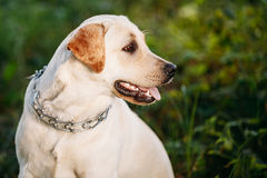 Funny White Labrador Retriever Dog Close Up Royalty Free Stock Photography