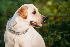 Funny White Labrador Retriever Dog Close Up Royalty Free Stock Photography