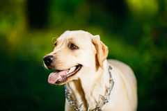 Funny White Labrador Retriever Dog Close Up Royalty Free Stock Photo