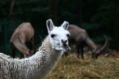 Funny white lama chewing grass on dark background