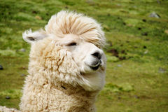 Funny white lama portrait Stock Photo