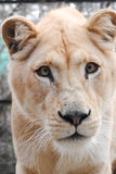 Funny White Lioness Muzzle. Close-up of funny muzzle of walking white lioness Royalty Free Stock Photos