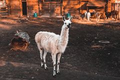 Funny white llama stands in the zoo& x27;s aviary and looks ahead, autumn sunny day, Kaliningrad region stock image