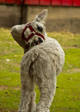 Funny White Llama Royalty Free Stock Photos