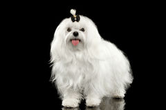 Funny White Maltese Dog Standing, Looking in Camera isolated Black Stock Photography