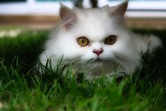 Funny white Persian cat in the garden stock photography