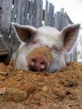 Funny white pig royalty free stock photos