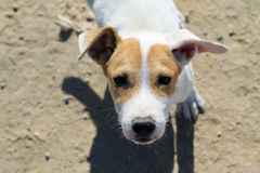 Funny white puppy. Funny redhead white puppy in the sand Stock Photos