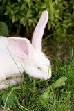 Funny white rabbit in grass. Royalty Free Stock Photo