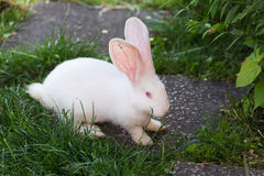 Funny white rabbit in grass. Royalty Free Stock Photography