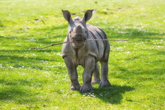 Funny White rhinoceros (Ceratotherium simum) calf playing fetch. Funny White rhinoceros (Ceratotherium simum) calf with a twig in its mouth standing in the royalty free stock photos